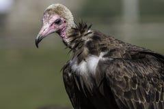 Avvoltoio incappucciato Fine triste su dell'specie in pericolo di estinzione Fotografia Stock