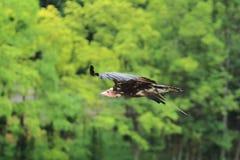 Avvoltoio incappucciato volante Fotografia Stock Libera da Diritti