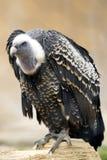 Avvoltoio integrale Immagine Stock