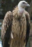 Avvoltoio messo in gabbia Immagine Stock