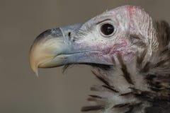 avvoltoio Mussolina-affrontato Fotografie Stock Libere da Diritti