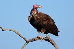 avvoltoio Mussolina-affrontato Fotografia Stock