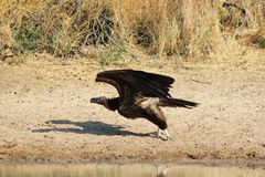 Avvoltoio, Mussolina-affrontato - indicatore naturale africano Immagine Stock