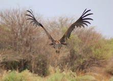 Avvoltoio, Mussolina-affrontato - volo delle piume Fotografie Stock