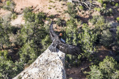 Avvoltoio nel grande canyon vicino al punto di Maricopa, portano un noioso Fotografie Stock Libere da Diritti