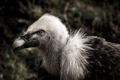 Avvoltoio nello scuro Fotografie Stock Libere da Diritti