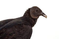Avvoltoio nero Fotografie Stock