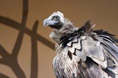 Avvoltoio nero Immagini Stock
