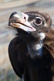 Avvoltoio nero fotografia stock