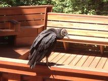 Avvoltoio nero Immagini Stock Libere da Diritti