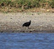 Avvoltoio nero Fotografia Stock Libera da Diritti