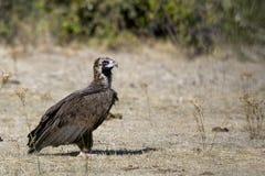 Avvoltoio nero Immagine Stock