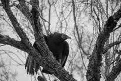 Avvoltoio nero Fotografie Stock Libere da Diritti
