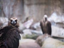 Avvoltoio nero adulto che osserva direttamente un fondo vago Fotografia Stock Libera da Diritti