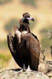 Avvoltoio nero appollaiato su una roccia Fotografia Stock Libera da Diritti