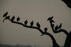 Avvoltoio nero, atratus del Coragyps Fotografia Stock