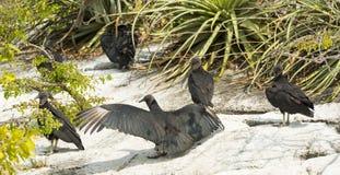 Avvoltoio nero in canyon Messico di Sumidero Immagini Stock