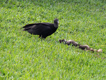 Avvoltoio nero che cerca dal pasto Immagini Stock