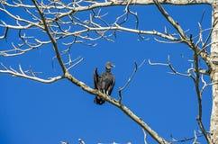 Avvoltoio nero che si appollaia su un ramo Immagini Stock Libere da Diritti