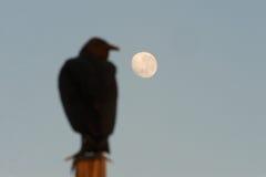 Avvoltoio nero e luna Fotografia Stock