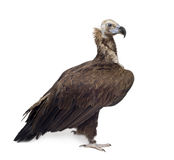 Avvoltoio nero euroasiatico (42 anni) Fotografie Stock Libere da Diritti
