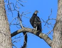 Avvoltoio 1P di B Fotografie Stock