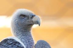 avvoltoio, poiana che vi esamina Fotografia Stock Libera da Diritti