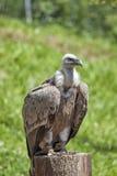 Avvoltoio preparato fotografie stock libere da diritti