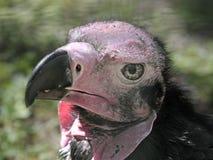 Avvoltoio Red-headed Fotografia Stock Libera da Diritti