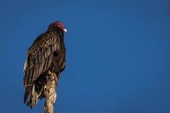Avvoltoio su una quercia Fotografie Stock Libere da Diritti