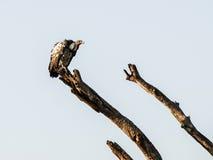 Avvoltoio sul branche Fotografia Stock