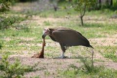 Avvoltoio sul lavoro Fotografia Stock Libera da Diritti