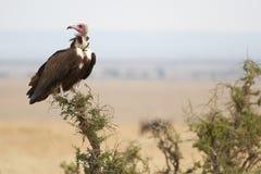 Avvoltoio sull'albero Fotografie Stock