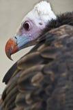 Avvoltoio variopinto. Immagini Stock Libere da Diritti