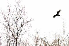 Avvoltoio in venti forti Immagine Stock