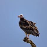 Avvoltoio Whiteheaded Immagini Stock