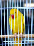 Awaiting Freedom. A Sad Yellow Australian Parrot in a Steel  Cage Royalty Free Stock Photography