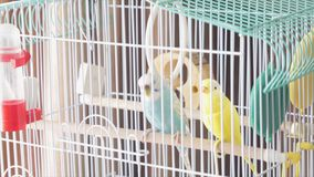 Awaiting Freedom - A Caged Yellow Beautiful Australian Parrot. Big colorful parrot in the white cage. two wavy parrots Stock Photos