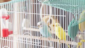 Awaiting Freedom - A Caged Yellow Beautiful Australian Parrot. Big colorful parrot in the white cage. two wavy parrots stock photo