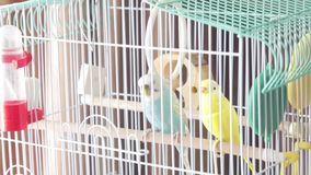 Awaiting Freedom - A caged yellow beautiful australian parrot. big colorful parrot in the white cage. two wavy parrots. Sit on a cage. Budgerigar on the cage stock video footage