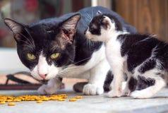 Awake adult cat eating food. Awake awareness position of adult yellow eyed cat during eating food, selective focus on its eye royalty free stock image