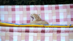 Awake cat swinging on a swing stock footage