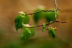 Awakening of lime-tree 6398 Royalty Free Stock Images