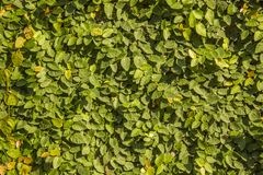 Awall überwuchert mit grünen Blättern Natürliche Beschaffenheit lizenzfreie stockfotografie