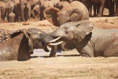 Awanturować się słonie Zdjęcie Stock