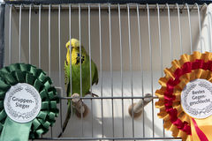 Award-winning Budgerigar Royalty Free Stock Photos