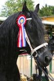 Award winning friesian stallion  during celebration Stock Photography
