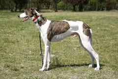 Award winning greyhound posing for the camera Royalty Free Stock Photography
