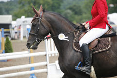 Award winning racehorse during celebration on a show jumping eve Royalty Free Stock Image