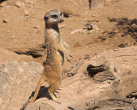 Aware meercat. Meercat on sentry with lazy dude in background royalty free stock image